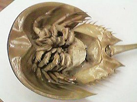 bottom view of horseshoe crab