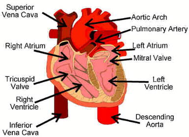 the circulatory system, Human Body
